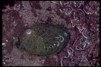 link to image abalone_haliotis_walallensis_sherryballard_0126.jpg