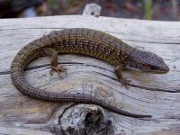 link to image alligator_lizard_shasta_elgaria_coerulea_shastensis_williamflaxington_0414.jpg