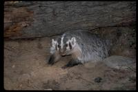 link to image badger_taxidea_taxus_robertpotts_0107.jpg