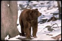 link to image bear_black_brownphase_ursus_americanus_tombrakefield_0140.jpg