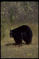 link to image bear_black_ursus_americanus_geraldandbuffcorsi_0062.jpg