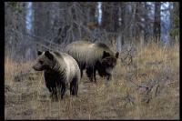 link to image bear_grizzly_ursus_arctos_geraldandbuffcorsi_0017.jpg