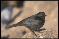 link to image blackbird_brewers_euphagus_cyanocephalus_drlloydglenningles_0139.jpg