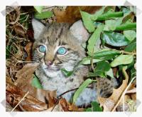 link to image bobcat_kitten_lynx_rufus_cookeville_fws_gov_1_pic_frame2.jpg