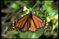 link to image butterfly_monarch_danaus_plexippus_twdavies_0031.jpg