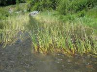 link to image cattails_in_tenmile_creek_img_1001.jpg