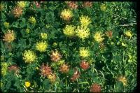 link to image clover_bull_trifolium_fucatum_brousseau_0097.jpg
