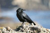 link to image crow_american_corvus_brachyrhynchos_joycegross_0179.jpg