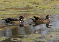 link to image duck_wood_aix_sponsa_tomgreer_0022.jpg