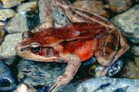 link to image frog_redlegged_rana_aurora_williamflaxington_0568.jpg