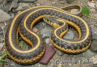 link to image gartersnake_pacificcoast_aquatic_thamnophis_atratus_jeremiaheaster_0640.jpg