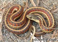 link to image gartersnake_thamnophis_elegans_terrestris_jeremiaheaster_0001.jpg