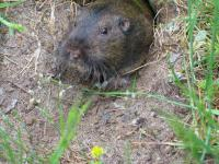 link to image gopher_at_mckerricher_ranger_station_img_0746.jpg