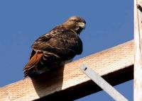 link to image hawk_redtailed_buteo_jamaicensis_tomgreer_1009.jpg