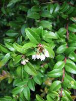 link to image huckleberry_blooms_img_0751.jpg