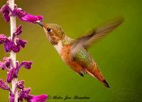 link to image hummingbird_rufous_selasphorus_rufus_hector_jose_brandan_0459.jpg