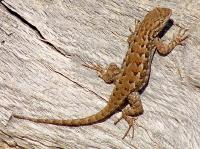 link to image lizard_western_fence_sceloporus_occidentalis_rogerhall_0709.jpg
