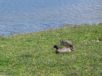 link to image mallards_at_lake_cleome_img_0689.jpg