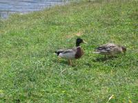 link to image mallards_at_lake_cleome_img_0692.jpg