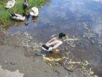 link to image mallards_at_lake_cleome_img_0698.jpg