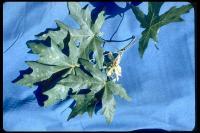 link to image maple_bigleaf_acer_macrophyllum_brousseau_0050.jpg