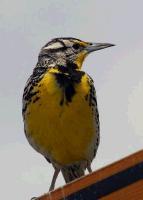 link to image meadowlark_western_sturnella_neglecta_tomgreer_0179.jpg