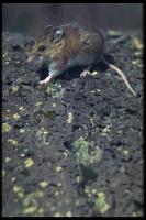 link to image mouse_deer_peromyscus_maniculatus_drlloydglenningles_0059.jpg