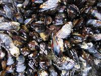 link to image mussels_at_howard_beach_img_0649.jpg