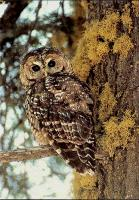 link to image owl_california_spotted_strix_occidentalis_usforestservice_.jpg