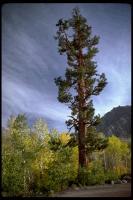 link to image pine_ponderosa_pinus_ponderosa_robertpotts_0006.jpg
