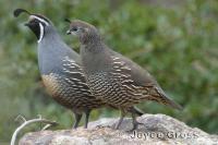 link to image quail_california_callipepla_californica_joycegross_0219.jpg