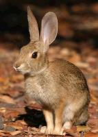 link to image rabbit_cottontail_sylvilagus_sp_tomgreer_0614.jpg