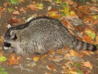 link to image raccoon_kimcabrera_1074.jpg