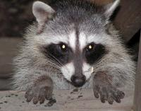 link to image raccoon_kimcabrera_1076.jpg