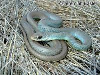 link to image racer_western_yellowbellied_coluber_constrictor_mormon_jeremiaheaster_0010.jpg