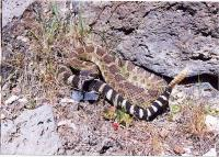 link to image rattlesnake_northern_pacific_crotalus_viridis_oreganus_jeffmiller_0167.jpg