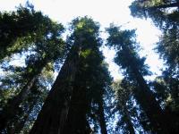 link to image redwoods_img_0873.jpg