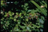 link to image ribes_menziesii_canyon_gooseberry_brousseau_0075.jpg