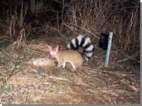 link to image ringtail1_bassariscus_astutus_nationalparkservice.jpg