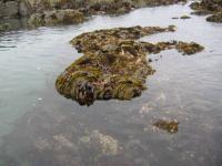 link to image rocks_seaweed_sea_anemone_at_howard_beach_img_0656.jpg