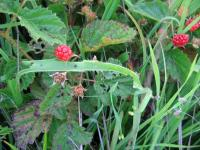 link to image rubus_sp_raspberries_img_0620.jpg