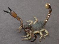 link to image scorpion_anuroctonus_phaiodactylus_arievandermeijden_0923.jpg