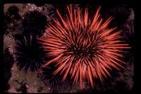 link to image sea_urchin_purple_and_red_strongylocentrotus_purpuratus_and_franciscanus_sherryballard_0109.jpg