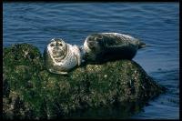 link to image seal_harbor_phoca_vitulina_drlloydglenningles_0104.jpg