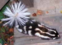 link to image skunk_spotted_spilogale_gracilis_kimcabrera_1072.jpg