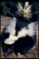link to image skunk_striped_mephitis_mephitis_drlloydglenningles_0028.jpg