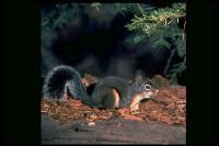 link to image squirrel_douglas_tamiasciurus_douglasii_drlloydglenningles_0060.jpg