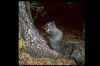 link to image squirrel_gray_sciurus_griseus_drlloydglenningles_0059.jpg