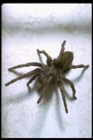 link to image tarantula_theraphosidae_drantoniojferreira_0089.jpg