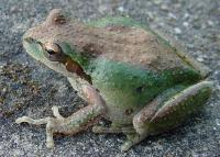 link to image treefrog_pseudacris_regilla_kimcabrera_0288.jpg